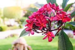 Κόκκινα λουλούδια plumeria ή frangipani στο δέντρο στο θερινό πάρκο Στοκ Εικόνες