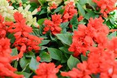 Κόκκινα λουλούδια salvia και άσπρα λουλούδια salvia Στοκ Εικόνες