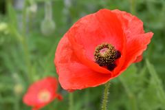 Κόκκινα πέταλα 02 λουλουδιών παπαρουνών Στοκ Φωτογραφία