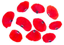 Κόκκινα πέταλα παπαρουνών Στοκ Φωτογραφία
