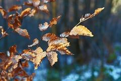Κόκκινα παγωμένα φύλλα οξιών στο χειμερινό δάσος στοκ φωτογραφίες με δικαίωμα ελεύθερης χρήσης