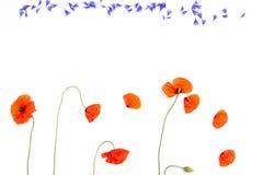 Κόκκινα παπαρούνες και cornflower πέταλα τομέων στο άσπρο υπόβαθρο Στοκ εικόνες με δικαίωμα ελεύθερης χρήσης