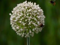 Κόκκινα παρακολουθημένα Bumblebees Στοκ Εικόνες