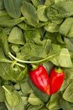 Κόκκινα πιπέρια στα φύλλα του σπανακιού Στοκ Εικόνες