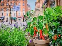 Κόκκινα πιπέρια τσίλι σε ένα δοχείο σε ένα υπόβαθρο οδών πόλεων στοκ εικόνα με δικαίωμα ελεύθερης χρήσης