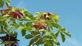 Κόκκινα πορτοκαλιά και πράσινα φύλλα με το μπλε ουρανό στο υπόβαθρο απόθεμα βίντεο