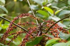 Κόκκινα πορτοκαλιά φρούτα μούρων των εγκαταστάσεων ι Merr bipalmatifolia Schefflera στοκ εικόνα