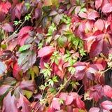 Κόκκινα & πράσινα φύλλα στοκ εικόνα με δικαίωμα ελεύθερης χρήσης