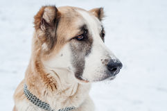 Κόκκινα ρολόγια σκυλιών Στοκ Φωτογραφία