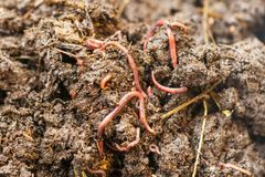 κόκκινα σκουλήκια λιπάσ&m Στοκ Εικόνες