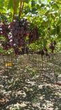 Κόκκινα σταφύλια στο ηλιόλουστο αγρόκτημα στοκ φωτογραφία