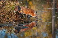 Κόκκινα τεντώματα Vulpes αλεπούδων vulpes έξω πέρα από το νερό Στοκ Φωτογραφία