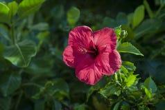 Κόκκινα της Χαβάης Hibiscus Στοκ φωτογραφίες με δικαίωμα ελεύθερης χρήσης