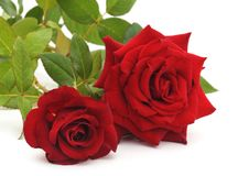 κόκκινα τριαντάφυλλα δύο Στοκ Φωτογραφία