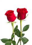 κόκκινα τριαντάφυλλα δύο & Στοκ Φωτογραφίες