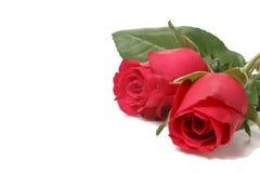 κόκκινα τριαντάφυλλα δύο Στοκ φωτογραφίες με δικαίωμα ελεύθερης χρήσης