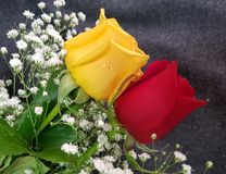 κόκκινα τριαντάφυλλα κίτρ& Στοκ Φωτογραφία