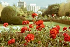 Κόκκινα τριαντάφυλλα κατά τη διάρκεια του φθινοπώρου στον εθνικό κήπο Shinjuku Gyoen, Τόκιο, Ιαπωνία στοκ φωτογραφία