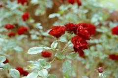 Κόκκινα τριαντάφυλλα κατά τη διάρκεια του φθινοπώρου στον εθνικό κήπο Shinjuku Gyoen, Τόκιο, Ιαπωνία στοκ εικόνες