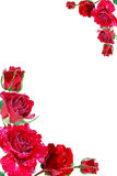 κόκκινα τριαντάφυλλα πλα Στοκ φωτογραφίες με δικαίωμα ελεύθερης χρήσης