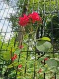 Κόκκινα τριαντάφυλλα που αυξάνονται μέσω ενός φράκτη σε ένα πάρκο στοκ φωτογραφία