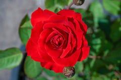 Κόκκινα τριαντάφυλλα στα δοχεία λουλουδιών, η αγάπη έννοιας, Valentine& x27 καρδιά του s Στοκ Φωτογραφίες