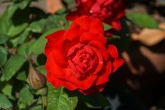 Κόκκινα τριαντάφυλλα στα δοχεία λουλουδιών, η αγάπη έννοιας, Valentine& x27 καρδιά του s Στοκ Εικόνες