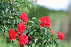 κόκκινα τριαντάφυλλα Τα φρέσκα κόκκινα τριαντάφυλλα στο κατώφλι κήπων λουλουδιών από πίσω Στοκ Εικόνες