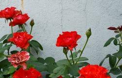 Κόκκινα τριαντάφυλλα στοκ φωτογραφίες με δικαίωμα ελεύθερης χρήσης