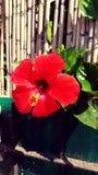 κόκκινα τριαντάφυλλα Στοκ εικόνα με δικαίωμα ελεύθερης χρήσης