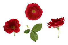 Κόκκινα τριαντάφυλλα Στοκ φωτογραφία με δικαίωμα ελεύθερης χρήσης