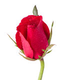 Κόκκινα τριαντάφυλλα με την πτώση νερού Στοκ φωτογραφία με δικαίωμα ελεύθερης χρήσης