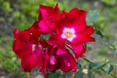 Κόκκινα τριαντάφυλλα λουλουδιών Στοκ Εικόνες