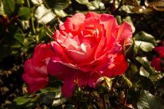 Κόκκινα τριαντάφυλλα λουλουδιών Στοκ φωτογραφίες με δικαίωμα ελεύθερης χρήσης