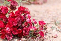 Κόκκινα τριαντάφυλλα που βρίσκονται στο έδαφος Στοκ Εικόνες