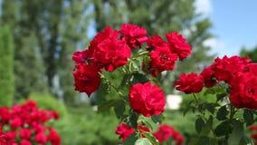 Κόκκινα τριαντάφυλλα στον κήπο απόθεμα βίντεο