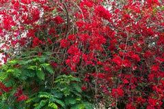 Κόκκινα τριαντάφυλλα στο θάμνο στον κήπο Στοκ Φωτογραφίες