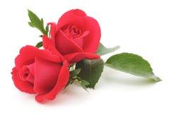 κόκκινα τριαντάφυλλα Στοκ Φωτογραφία