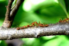 Κόκκινα τρόφιμα κίνησης μυρμηγκιών Στοκ φωτογραφία με δικαίωμα ελεύθερης χρήσης