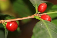 Κόκκινα φασόλια καφέ, εγκαταστάσεις καφέ Coffea- Στοκ εικόνα με δικαίωμα ελεύθερης χρήσης