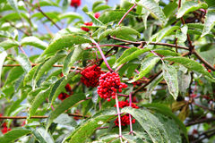 Κόκκινα φρούτα βουνών Στοκ Εικόνα