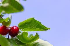 κόκκινα φρούτα κερασιών στον κλάδο με το μπλε ουρανό στοκ εικόνα