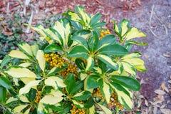Κόκκινα φρούτα νάνου Schefflera, Arboricola Στοκ Εικόνες