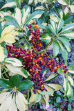 Κόκκινα φρούτα νάνου Schefflera, Arboricola Στοκ Φωτογραφία