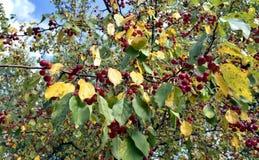 Κόκκινα φρούτα σε ένα άγριο δέντρο της Apple Στοκ Εικόνα