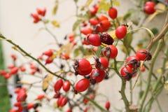 Κόκκινα φρούτα σε εγκαταστάσεις Στοκ εικόνες με δικαίωμα ελεύθερης χρήσης