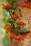 Κόκκινα φρούτα του viburnum ενάντια στο τουβλότοιχο υποβάθρου Εποχιακή έννοια φθινοπώρου Στοκ Εικόνες