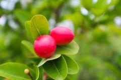 Κόκκινα φρούτα των βακκίνιων στοκ φωτογραφίες