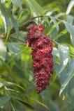 Κόκκινα φρούτα Sumac Στοκ Φωτογραφίες