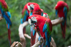 Κόκκινα φτερά διάδοσης παπαγάλων Στοκ φωτογραφία με δικαίωμα ελεύθερης χρήσης